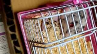 だるめしあんはむすたぁ♪dalmatian Hamster
