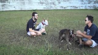 Jimmy E Jack - Irmãos Bull Terrier -bh - Mg