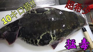 【希少映像】巨大トラフグさばいてみた!【10キロ級】Big Poison Puffer 毒药河豚吃 thumbnail
