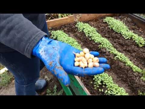 видео: Лук севок, посадка под зиму