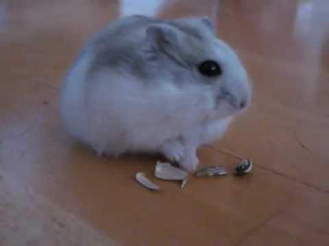 Talvikko Hamsteri