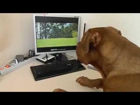 Бордоский дог смотрит Dog TV