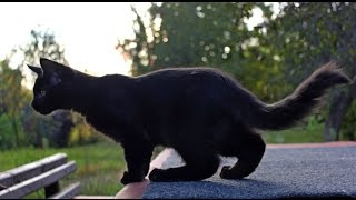 Черный котенок Мейн куна