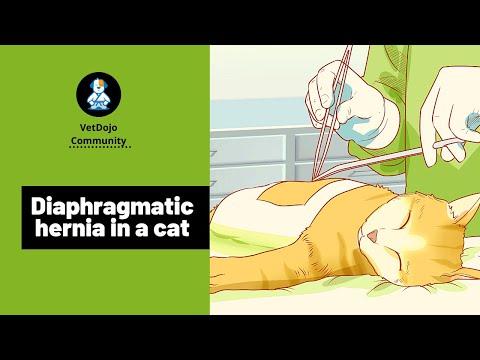 diaphragmatic hernia in a cat youtube