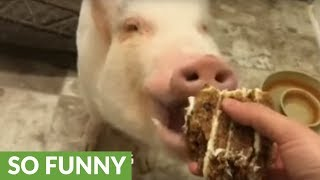 Mini pig and buddy enjoy tasty birthday cake