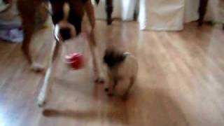 Boxer Vs Pug