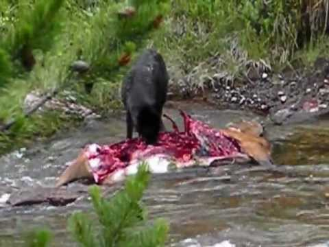 Yellowstone wolf eating elk