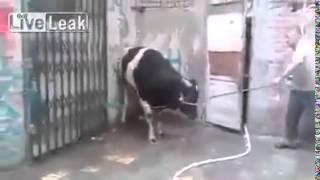 حمار يذبح بقره