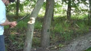 SWAMP RAT  Rodent Waki