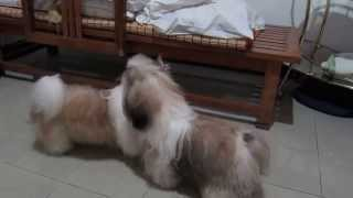 Two Brothers, J And Grand Of Forget Me Not Shih Tzu, Play Together After 6months Apart