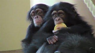 Download Video チンパンジー 双子の赤ちゃん148 Chimpanzee twin baby MP3 3GP MP4