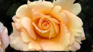 Hybrid Tea Bush Rose Collection
