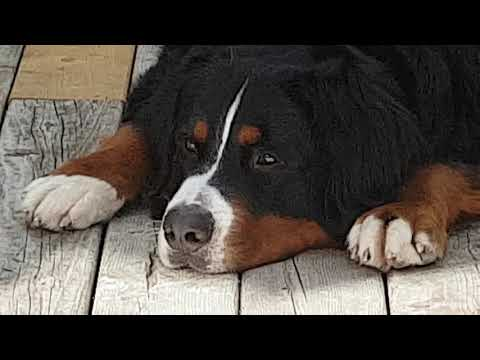 Max our Bernese Mountain Dog with close up