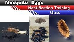 Mosquito eggs eggs Identification Training Quiz