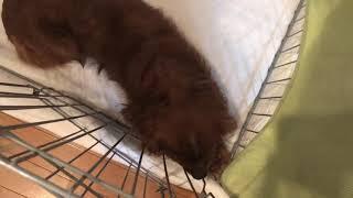 これは、儂が飼っているイギリス産の犬のキャバリアキングチャールズス...
