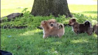 Yorkie Pom Puppies For Sale