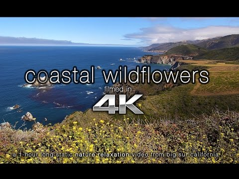 4K SCENE: Coastal Wildflowers Big Sur | Nature Relaxation™ Static Scene 1HR