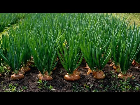 Amazing Onion Farming and Harvesting Techniques - Amazing Onion Cultivation