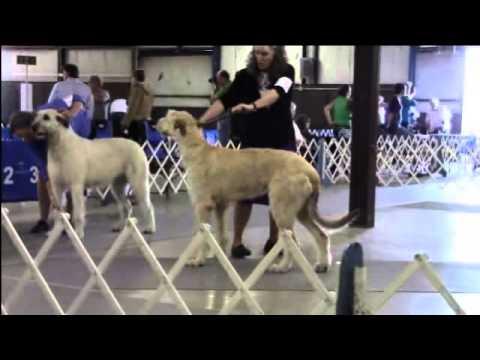 4-24-2016 Northwest Arkansas Kennel Club - Irish Wolfhounds