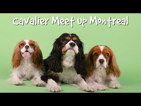 CAVALIER MEET UP IN MONTREAL (our hometown!)