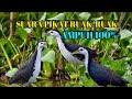 Suara Burung Ruak Ruak Cocok Buat Pikat Di Jamin Poin  Tembakan(.mp3 .mp4) Mp3 - Mp4 Download