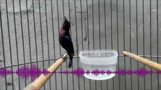 Gambar cover Audio Master Kolibri Ninja Gacor   Bongkar Isian Kicau Burung