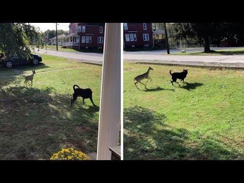 Kevin Johnson - Dog & Deer Play Together