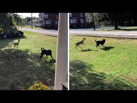 Playful Deer Plays With Dog