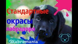 Стандартные окрасы лабрадора/Лабрадор/Окрас/Собака для дома/LABROмания