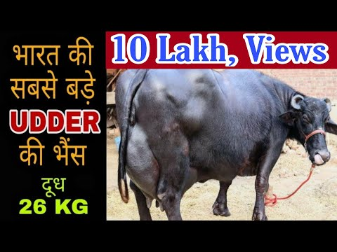World Biggest Udder Buffalo -2 with 26 kg milk Capacity at Amritsar (PUNJAB)
