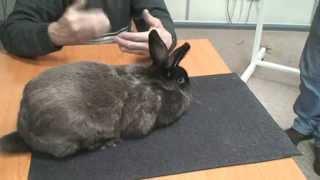 Семинар по кролиководству. Экспертиза кролика породы Мардер коричневый