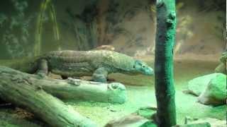 Large Komodo Dragon at the Atlanta Zoo