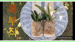 난초 카틀레아 목부작,서양난, 행잉플랜트,베란다식물