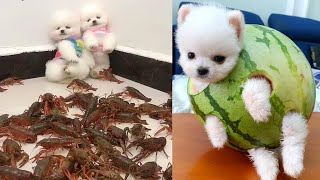Funny and Cute Dog  Pomeranian | Funny Puppy Videos #1