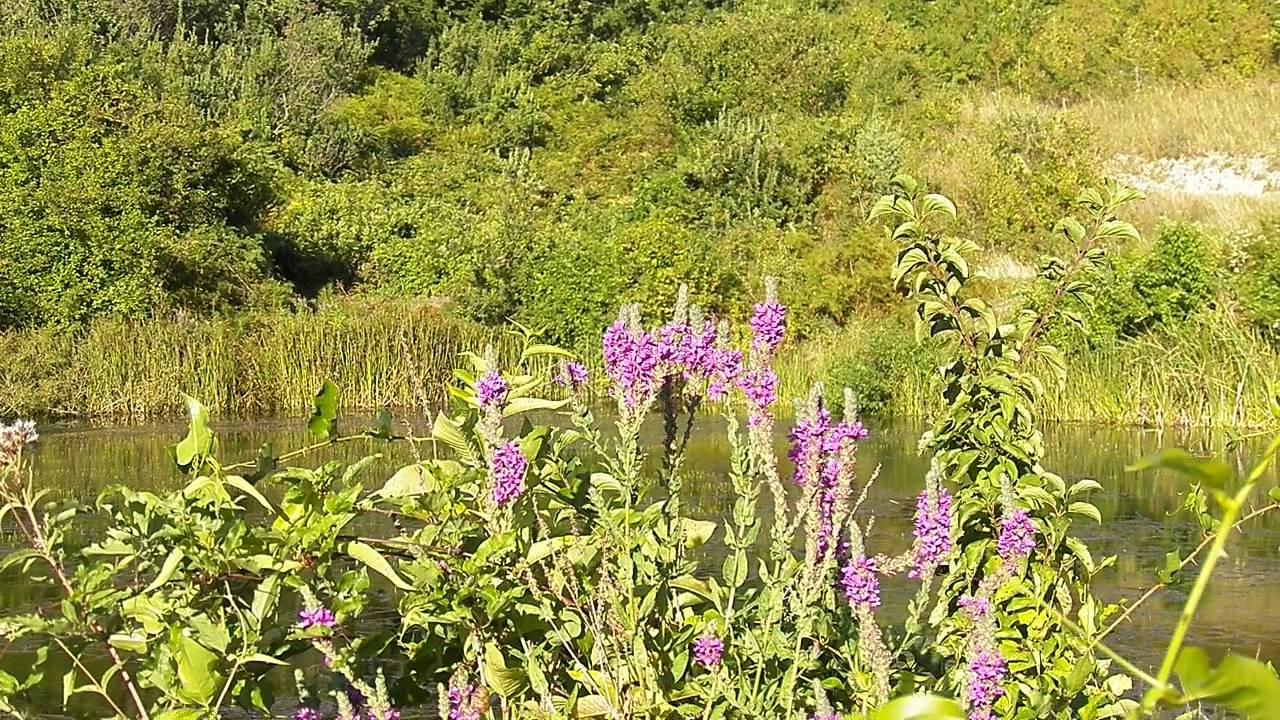Цветы киви. Майское цветение в Лазаревском, Сочи 2013 - YouTube