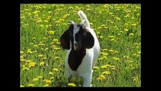 Il était une chèvre - Jacky Galou