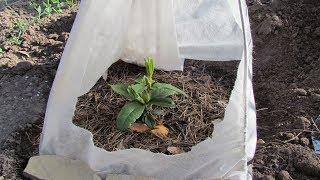 Посадка рододендрона вечнозеленого .Planting rhododendron evergreen