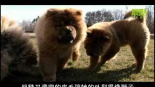 狗狗101---鬆獅犬