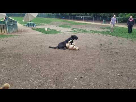 Rosy at Las Palmas dog park Sunnyvale ca