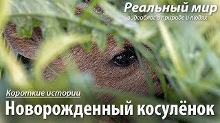 Новорожденный косулёнок. Европейская косуля (Capreolus capreolus).