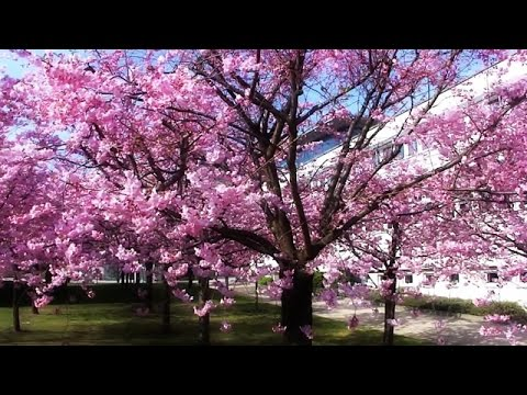 Cherry Blossom Tree Compilation Ciliegio In Fiore Youtube