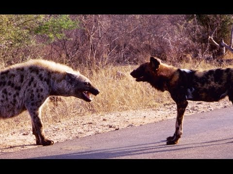 Standoff Between A Pack Of Wild Dogs And Spotted Hyenas - Latest Wildlife Sightings