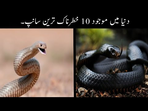 10 Most Dangerous Snakes In The World Urdu | Deadliest Snakes In The World Urdu | Haider Tv