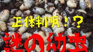 大量の謎の幼虫の正体は 国産カブトムシの幼虫ではないのか!!!? 自...