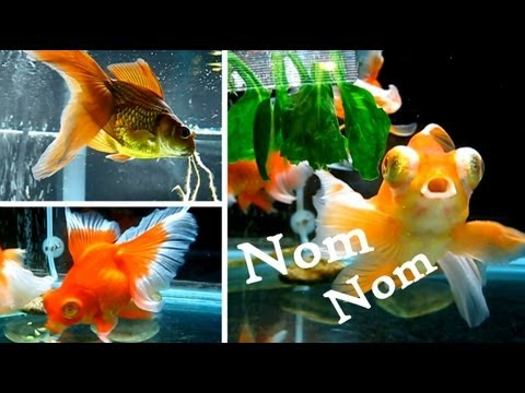 Goldfish Food Frenzy!