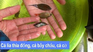 Bắt cá lia thia đồng, cá bẫy chầu, cá cờ