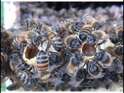 090418 Pollen de saule, starter et cellule royale