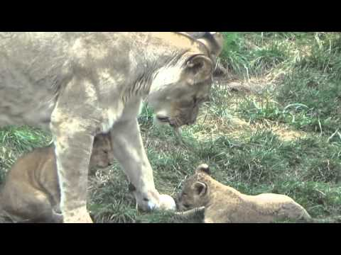 The Columbus Zoo's Two Month Old Lion Cubs 2