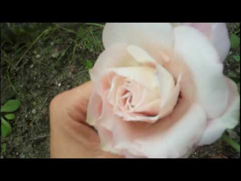 Вопрос: Чем отличается цветок эустома от садовой розы?