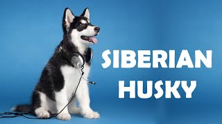 Siberian Husky | Facts And Characteristics | Dog Breed Information
